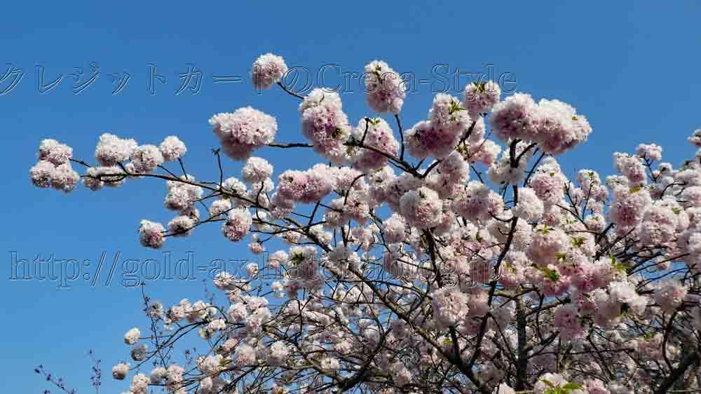 アメックス 醍醐寺 桜の夜間特別拝観 霊宝館の桜