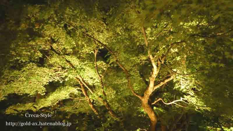 圓徳院の玄関にあるライトアップされたもみじの木