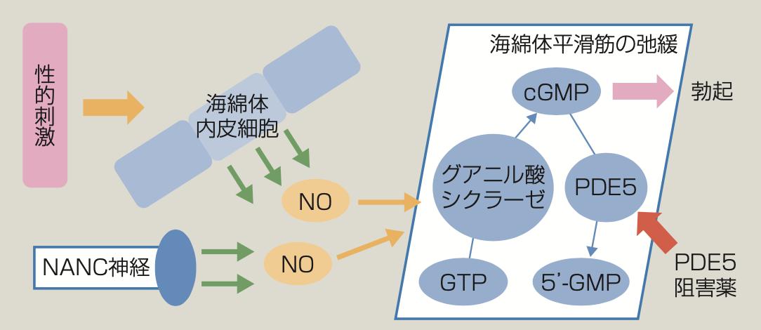 ED薬のPDE5阻害薬としての作用