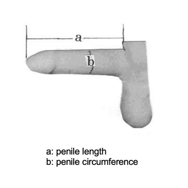 ペニスの測定方法