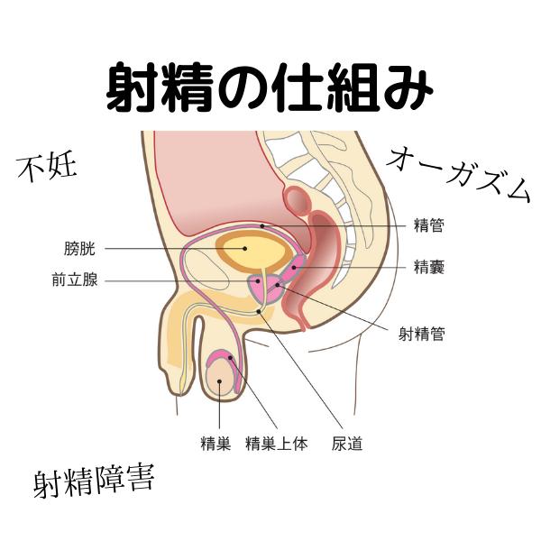 射精の仕組み