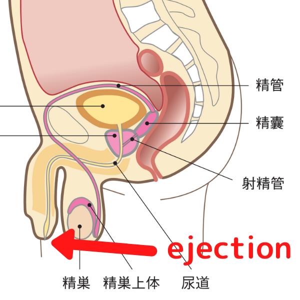 射精の仕組み:ejection