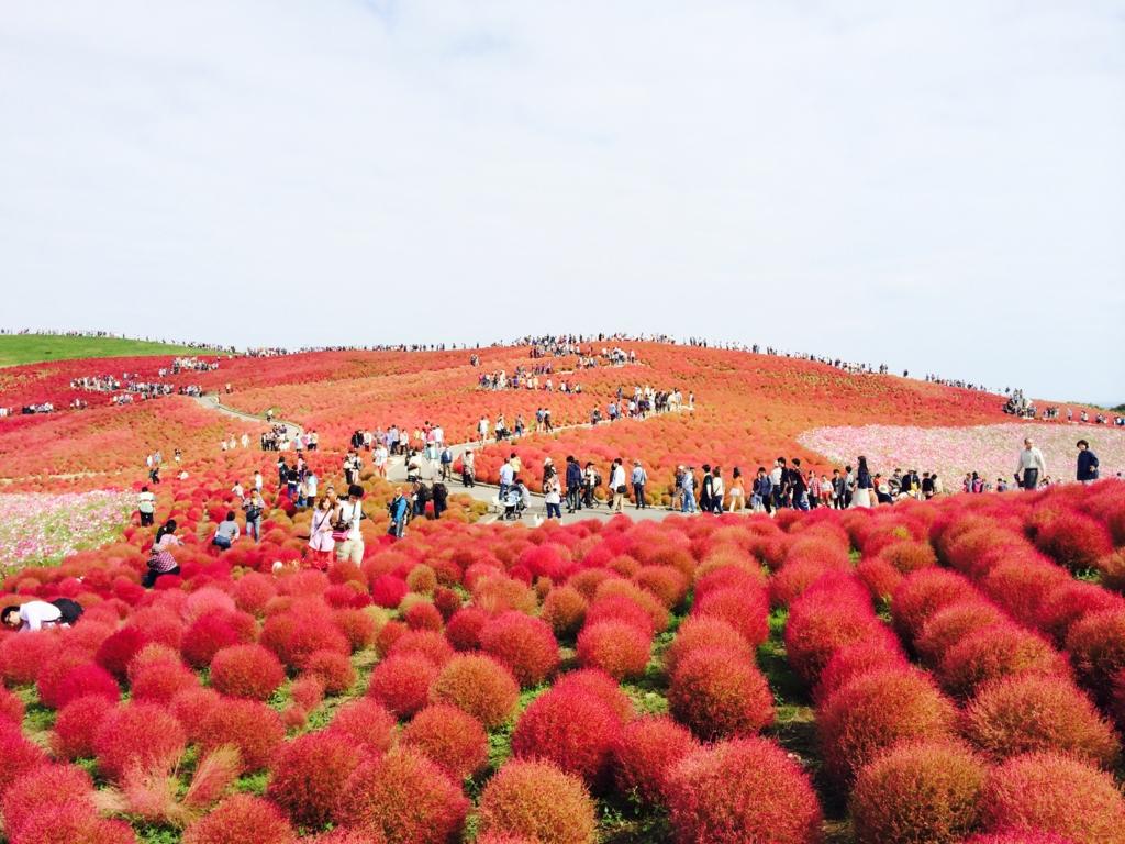 見晴らしの丘コキアの紅葉
