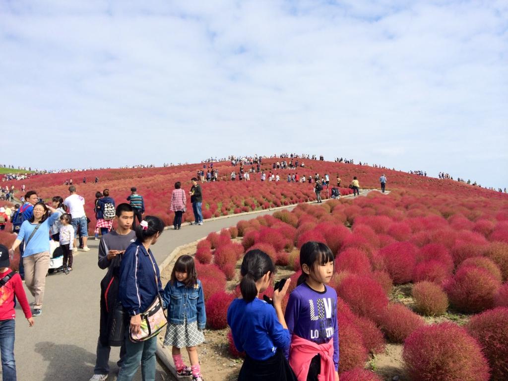 ひたちなか海浜公園の紅葉は見上げるのではなく、見下ろす