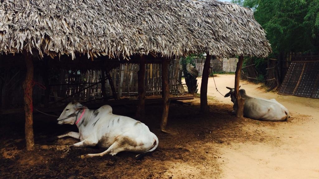 未開の村。ミンナントゥ村の牛。