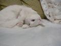 美白猫タイちゃん