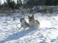[北海道][犬][コーギー][冬][雪]