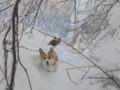 [犬][コーギー][北海道][冬]