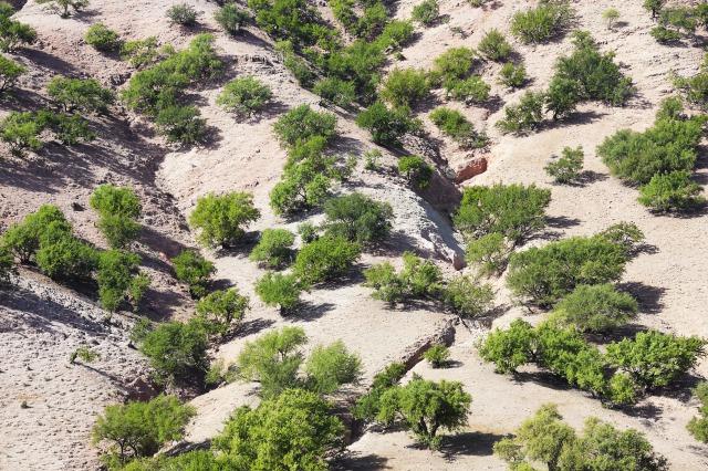 アルガンの樹の画像