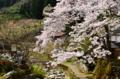 京都新聞写真コンテスト 故郷の桜