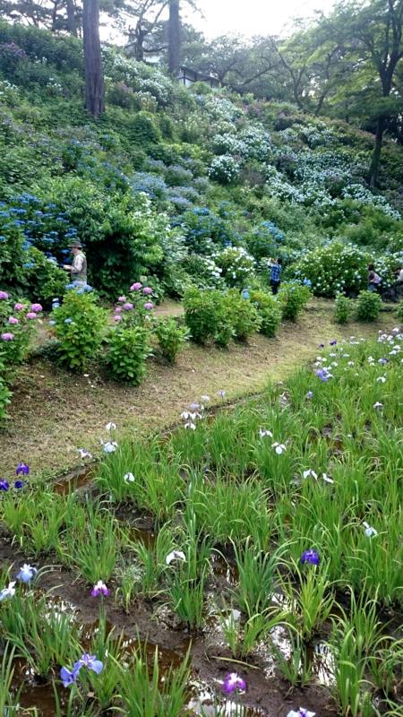 斜面の紫陽花と花菖蒲
