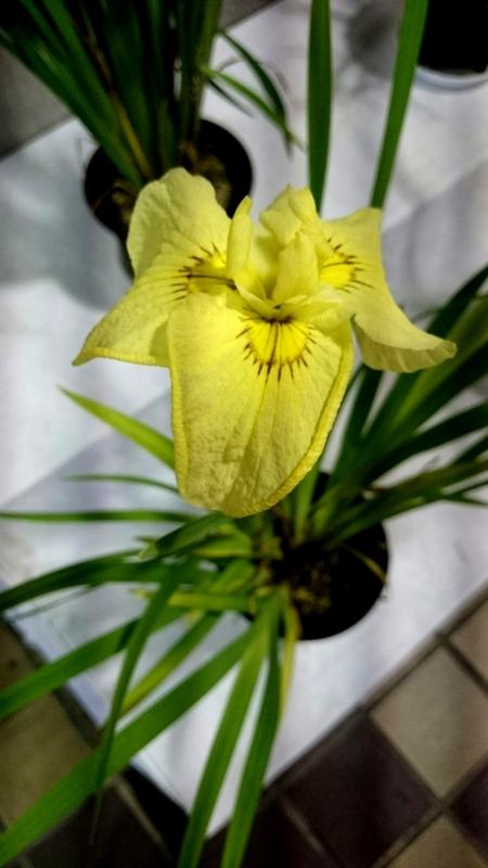 黄色い花菖