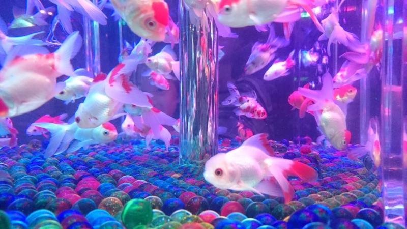 ゆらゆらと優雅に泳ぐ金魚