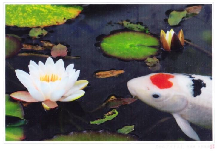 モネの池のハートマークの鯉