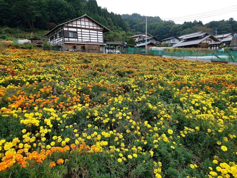 マリーゴールドの花畑