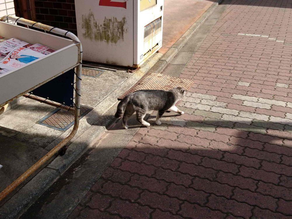 野良猫のスコティッシュフォールド?