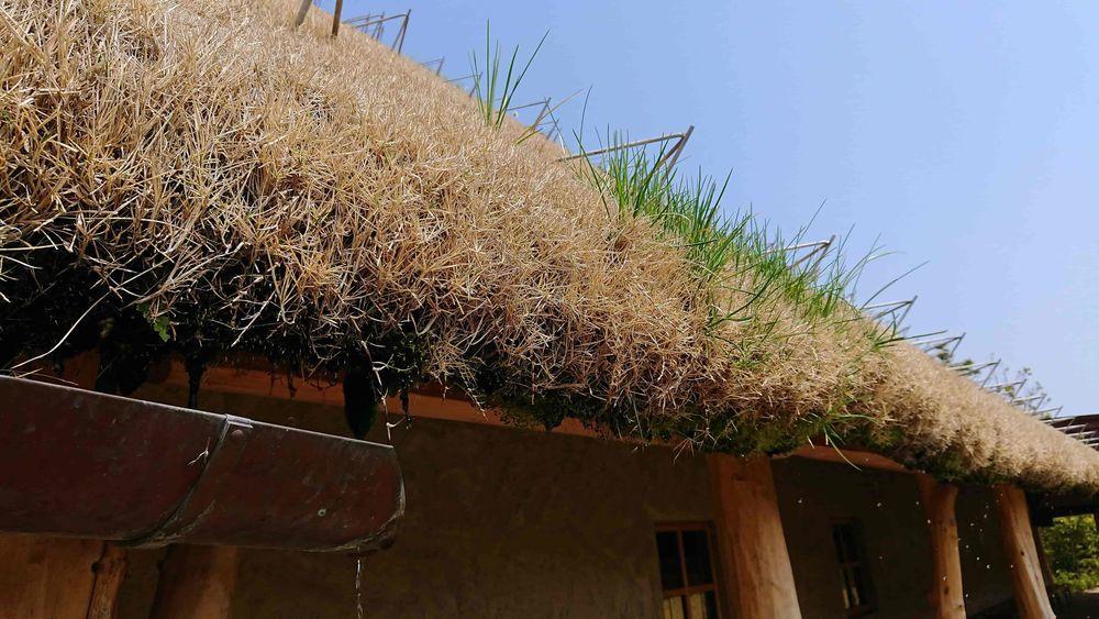 少しだけ芽吹いてた屋根の芝生