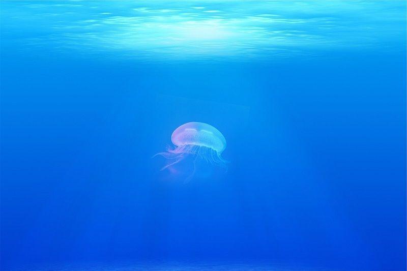 jellyfish クラゲ