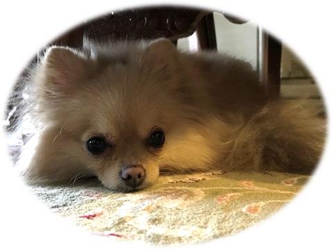 愛犬シフォン 今日の様子