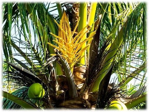 ココナッツシュガーの原料☆ココナッツの黄色い花