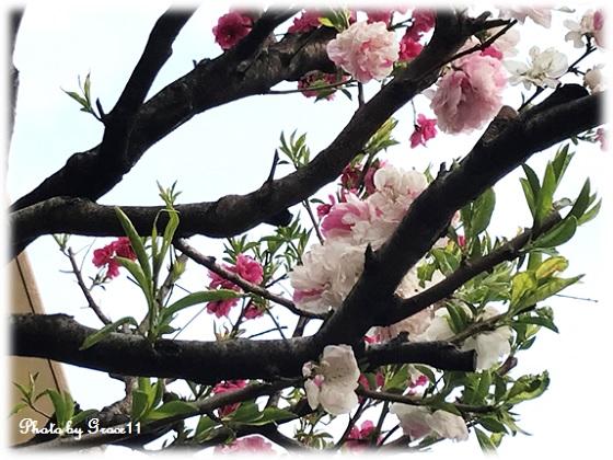 ハナモモ(咲き分け)
