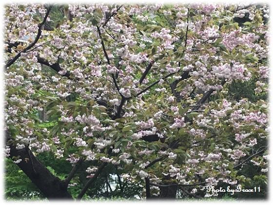八重桜・ボタン桜