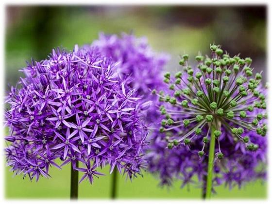 レッドオニオンの花