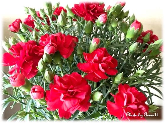 母の日のプレゼント1 赤いカーネーション
