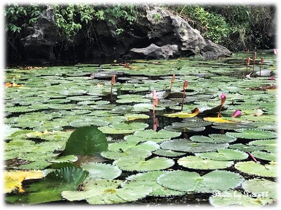 チャンアン景勝地☆蓮の花