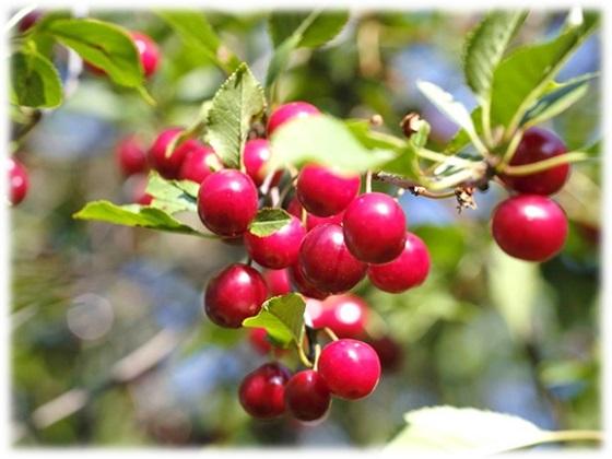 Tart Cherry(タルトチェリー)
