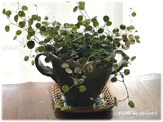 リラックス効果のある観葉植物『ワイヤープランツ』