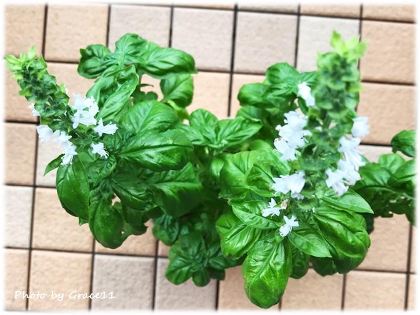 スイートバジルの白い花