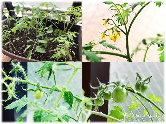 ベランダ菜園☆チェリートマト
