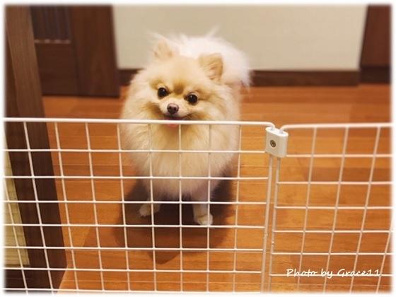 悪戯しない臆病ない犬・ポメラニアンのシフォン