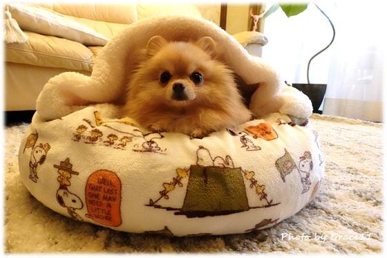 寝袋タイプのあったかベッドに入るポメラニアン犬