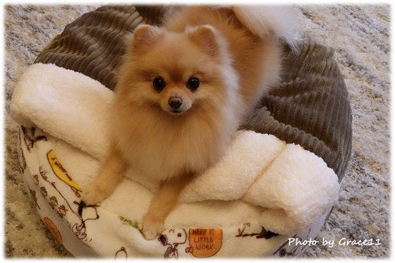 冬のあったかベッドとポメラニアン犬