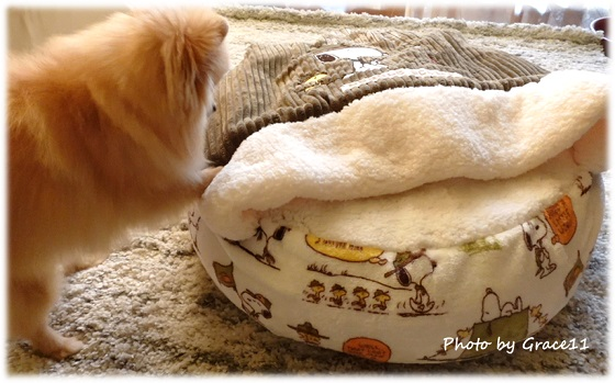 犬の冬用ベッドをホリホリするポメラニアン