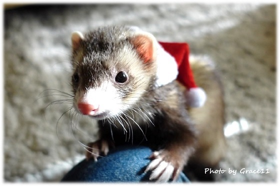サンタの帽子をかぶったかわいいフェレットのシナモン