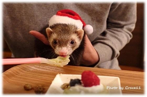 手づくりのクリスマスケーキを食べるフェレットのシナモン