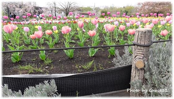 春☆桜とチューリップ