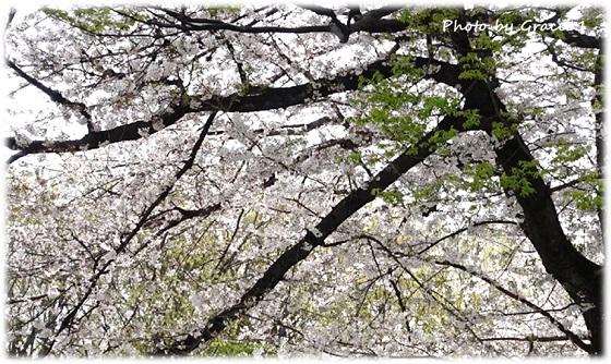 2021の桜