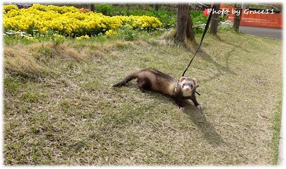 芝生の上で散歩するフェレット