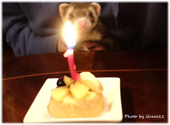 フェレット1歳の誕生日のお祝い