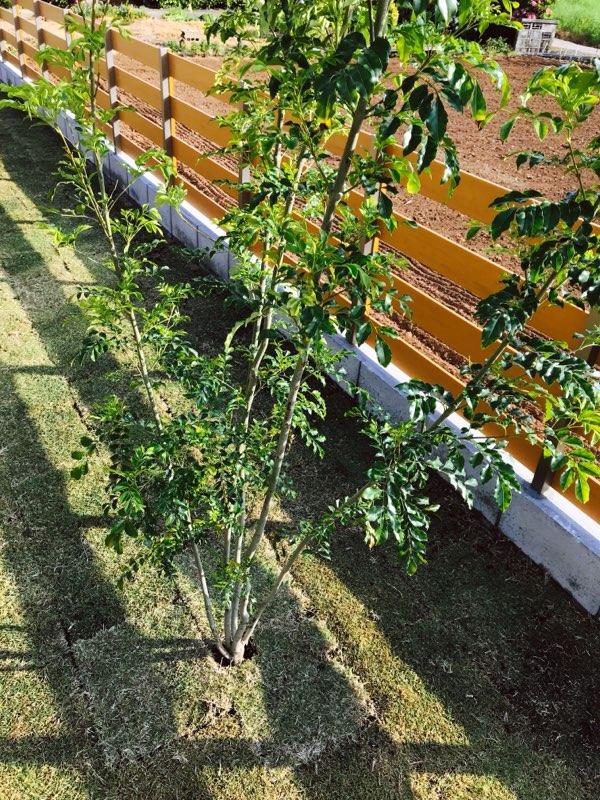 シマトネリコの木。