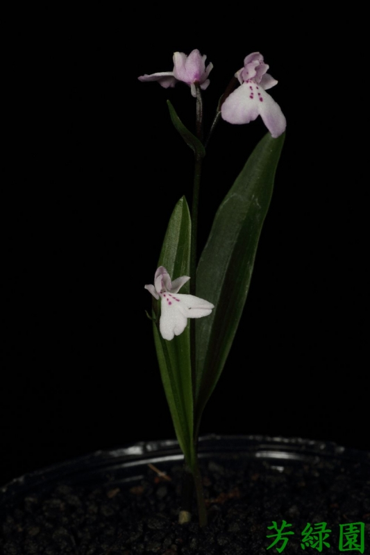 f:id:green-orchid:20160505081214j:image