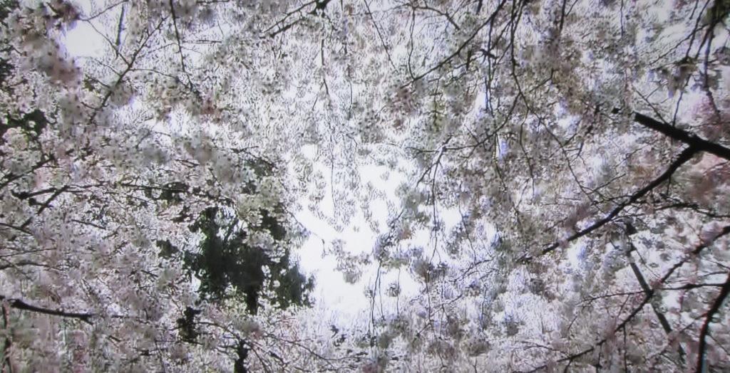 鶴舞公園の桜・お花見