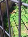 旭山動物園・ライオン