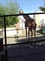 旭山動物園・キリン