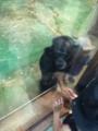 旭山動物園・チンパンジー