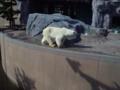 旭山動物園・ホッキョクグマ